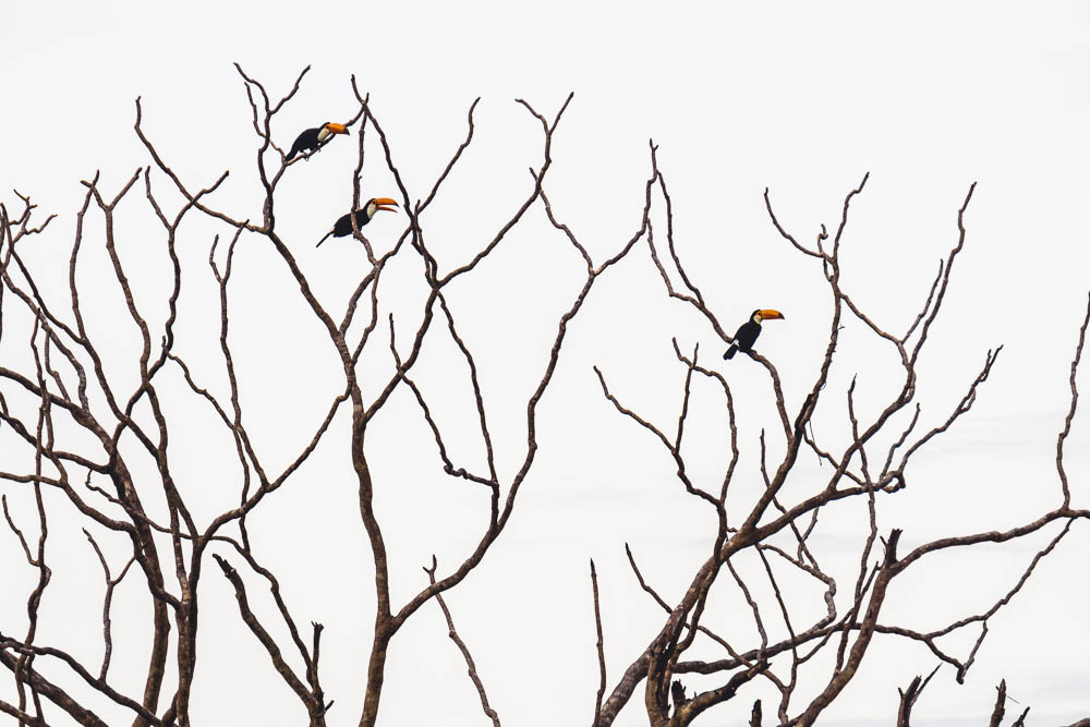 Breakdown wild animals Brazil Toucan