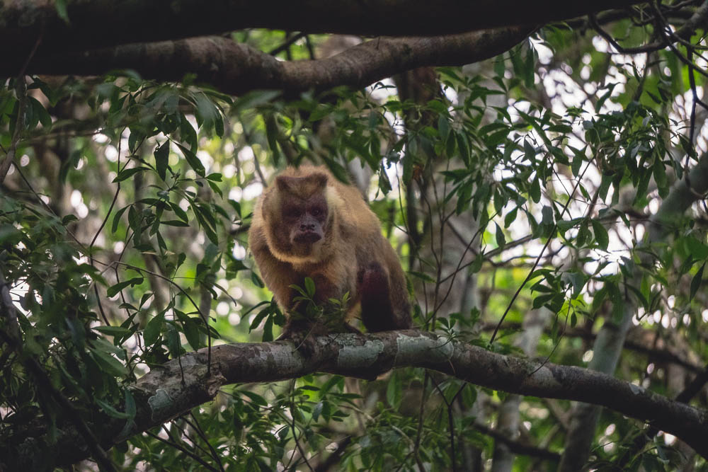 Breakdown wild animals Brazil capuchin monkey