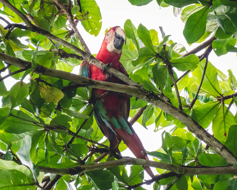 Breakdown wild animals Brazil red parrot