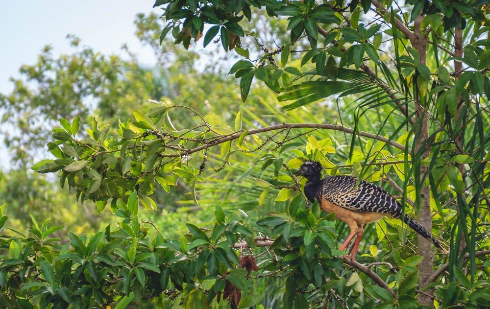 Breakdown wild animals Brazil Bare-faced Curassow on tree