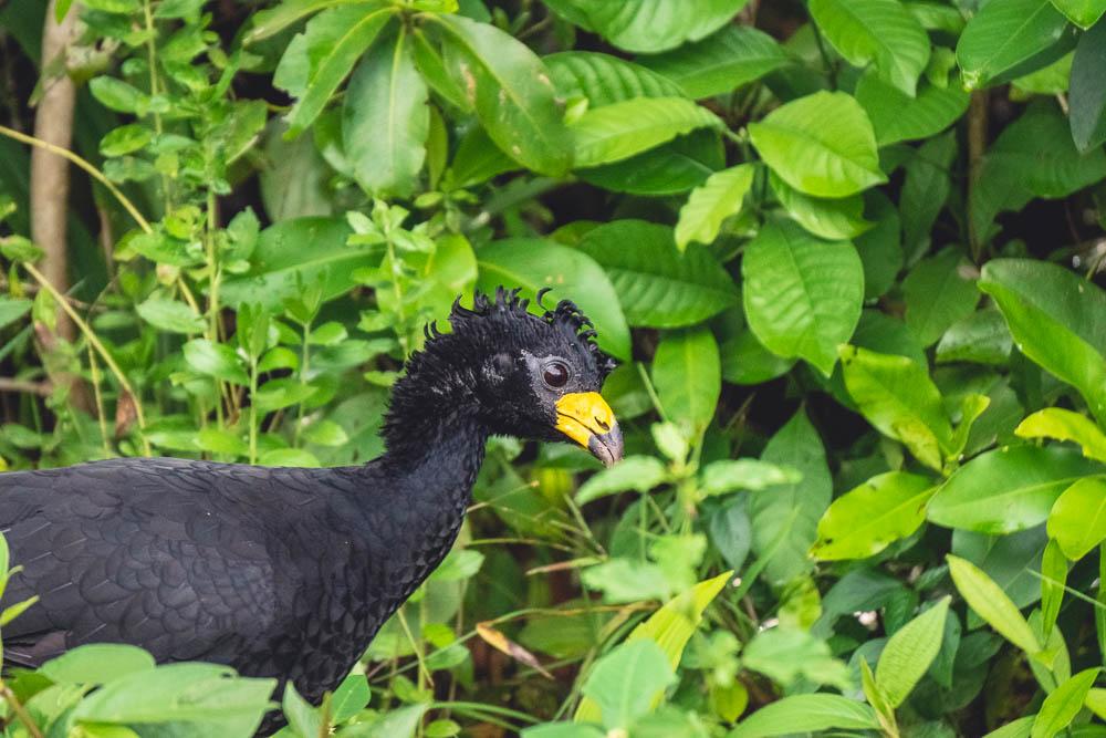 Breakdown wild animals Brazil Bare-faced Curassow