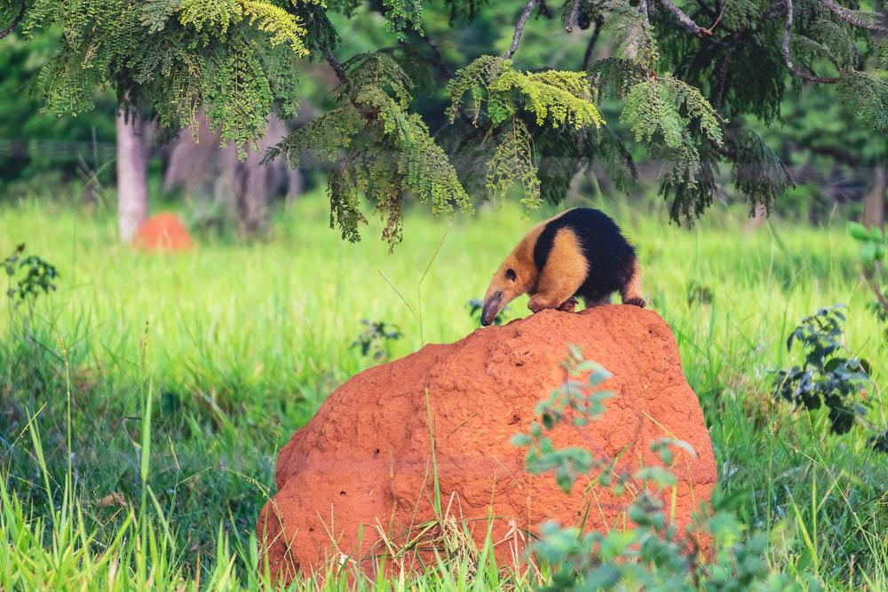 Breakdown wild animals Brazil anteater