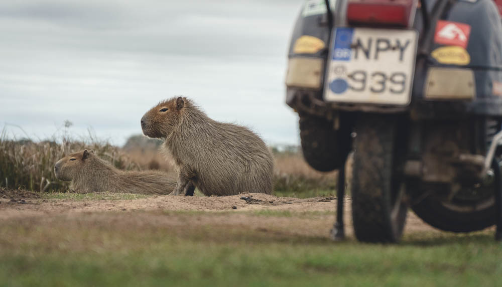 Capybara behind Vespa - Motorcycle travel Argentina